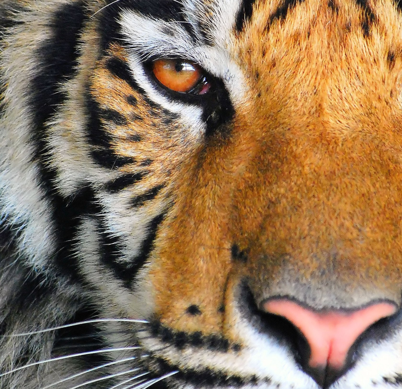 The Eye of the Tiger Nathan Fischer2008 Photograph Print 11x14 or custom $75