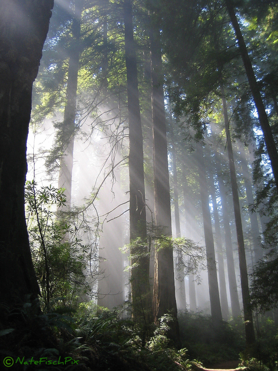 Redwood National Forest Nathan Fischer2006 8.5x11, 11x14 or custom