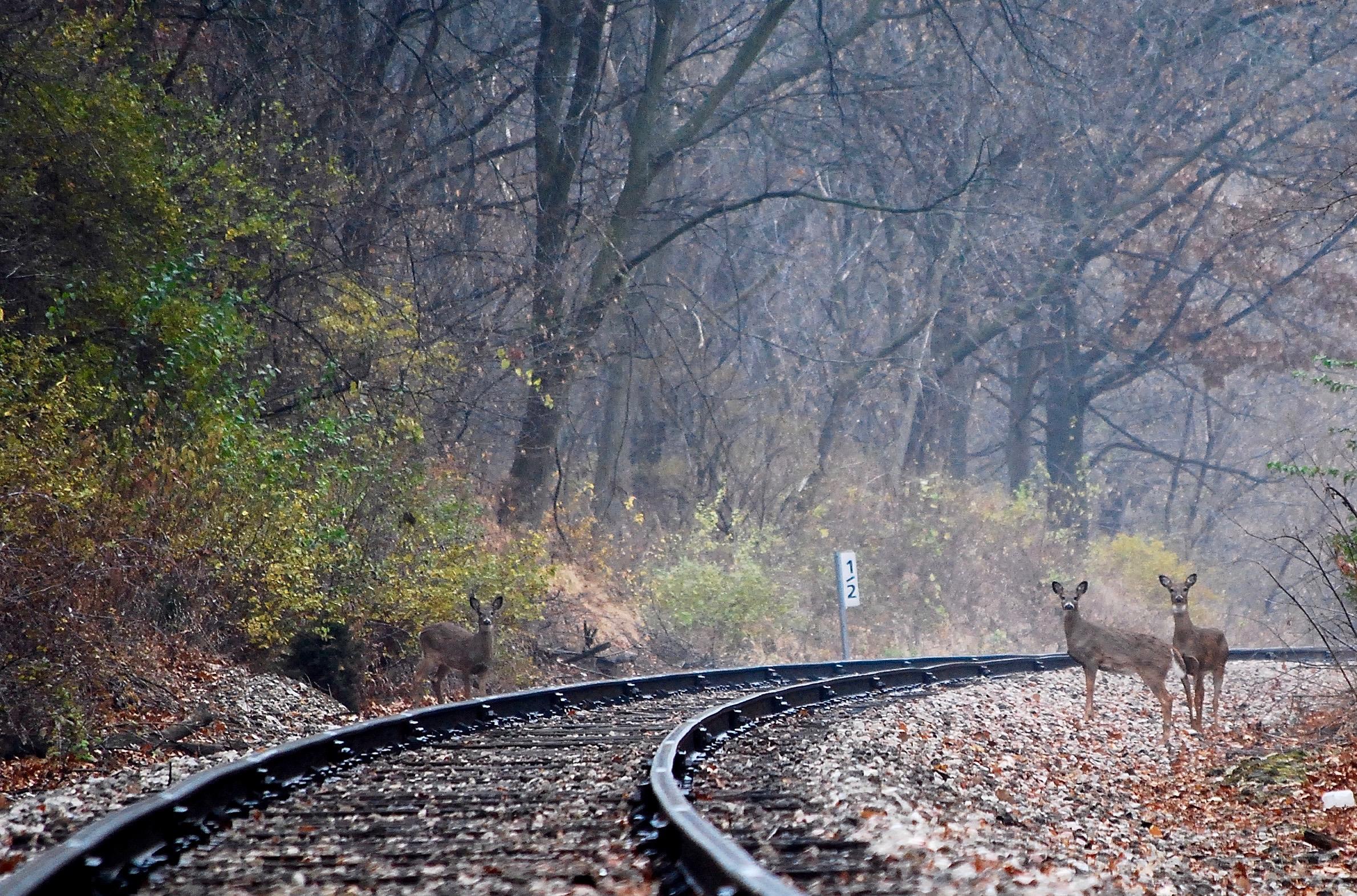 Deer on Tracks Nathan Fischer 2007 Photograph 8.5x11 $50