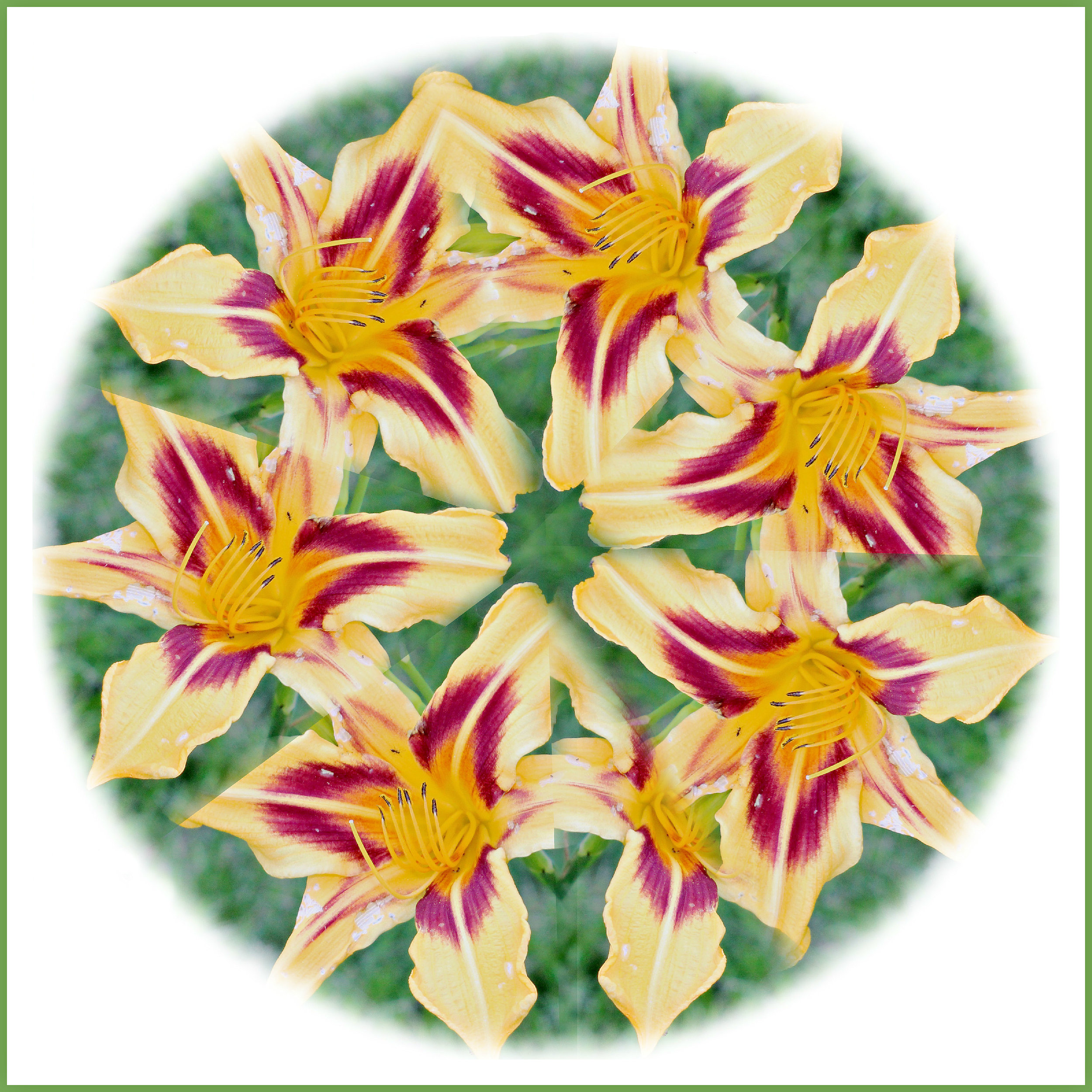 Day Lily Mandela  Maureen Donnelly 2017 Edited Photo 8 x 8 $15