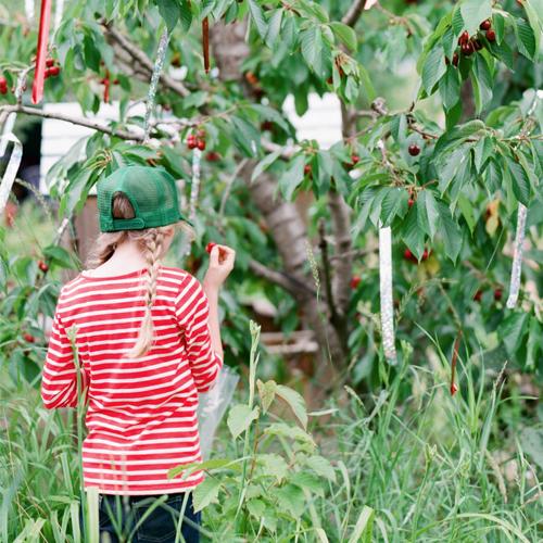 Girl_Picking_cherries