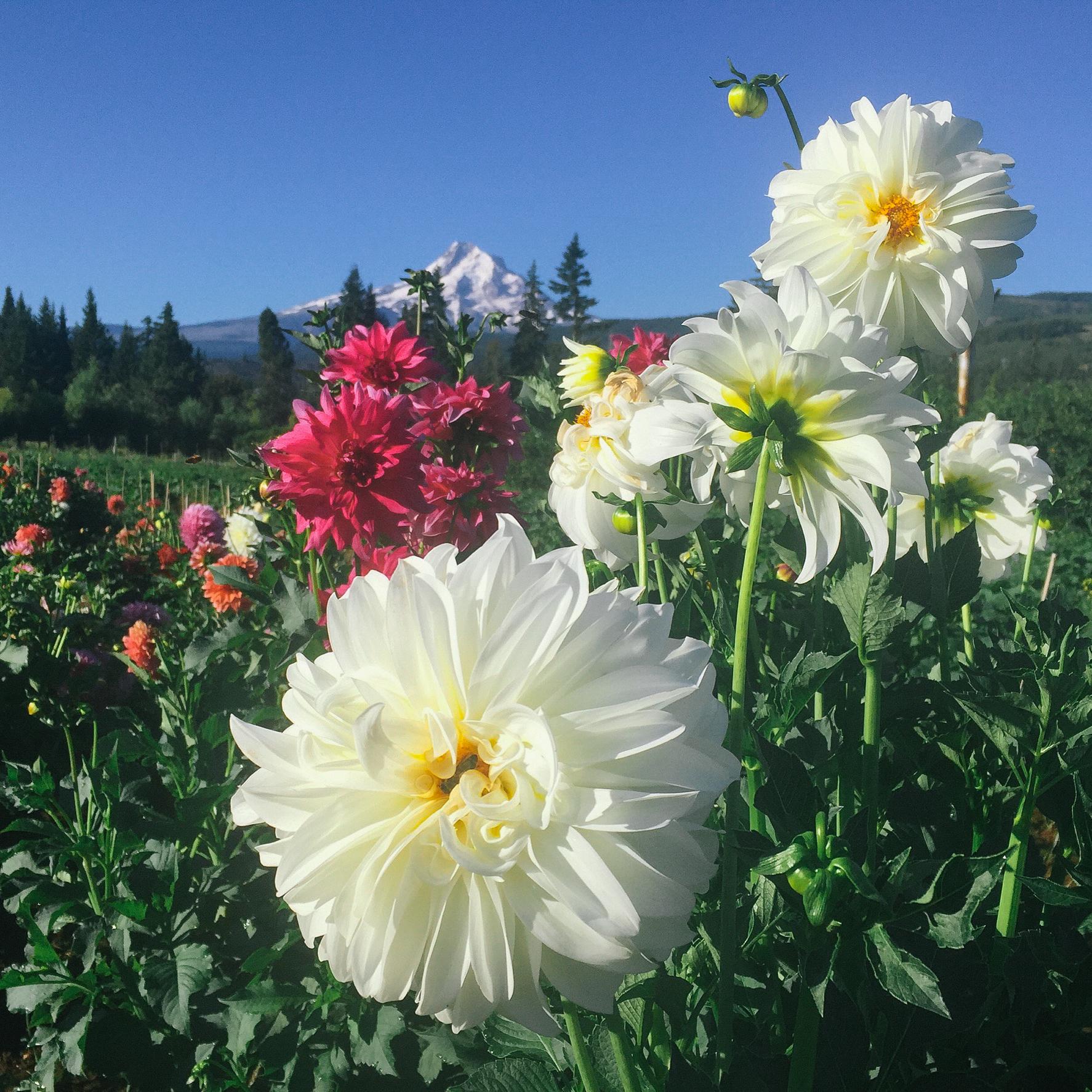 Mt_View_Flowers-2.JPG