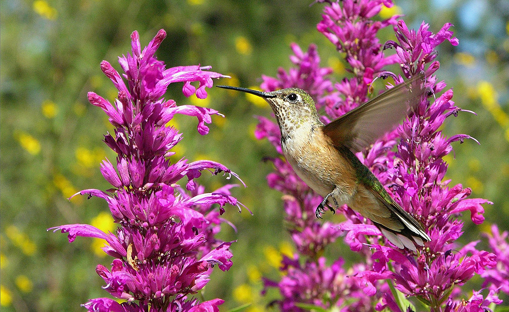 Female Allen's Hummingbird on Agastache cana 'Rosita'