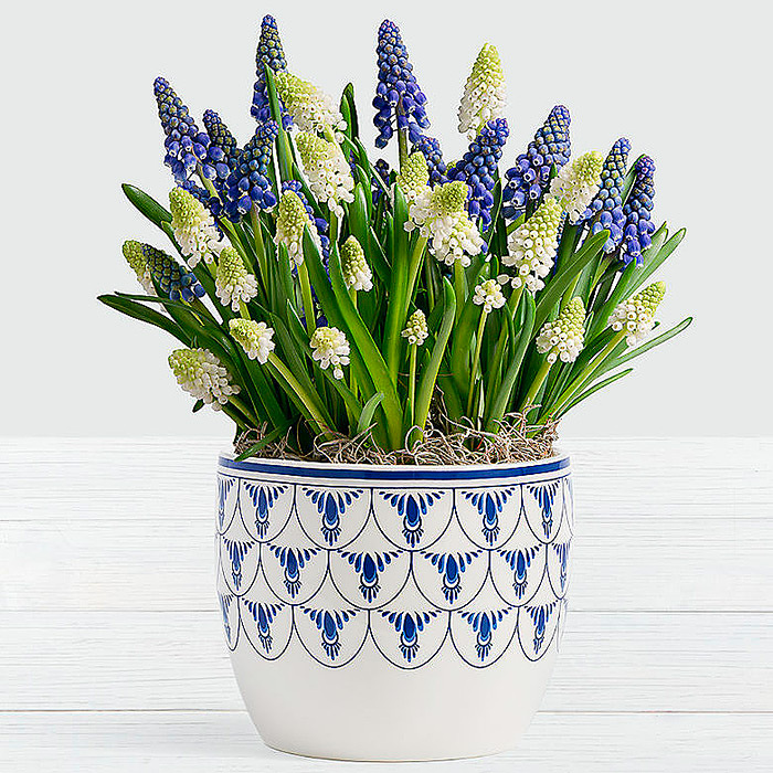 Blue & White Magic Muscari Bulb Garden