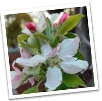 Apple Blossom Picture  cropped 200 pix.jpg