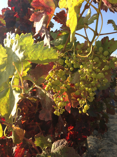Baby grapes and fall colors in Pais Vasco