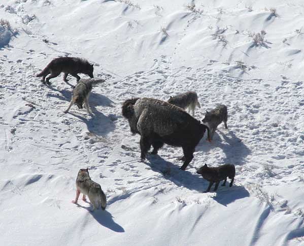 ( A canine pack works cooperatively to hunt a bison  | National Park Service)