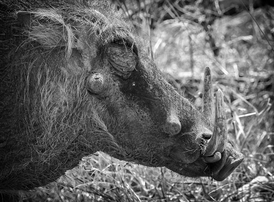 Warthog Side