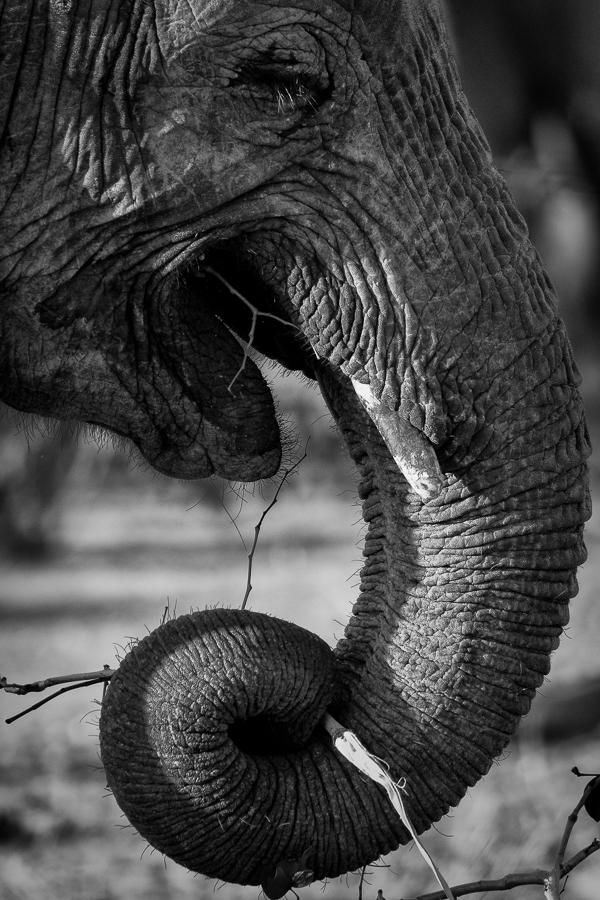 Elephant cu