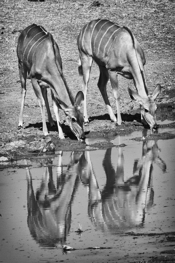 Double Waterbuck