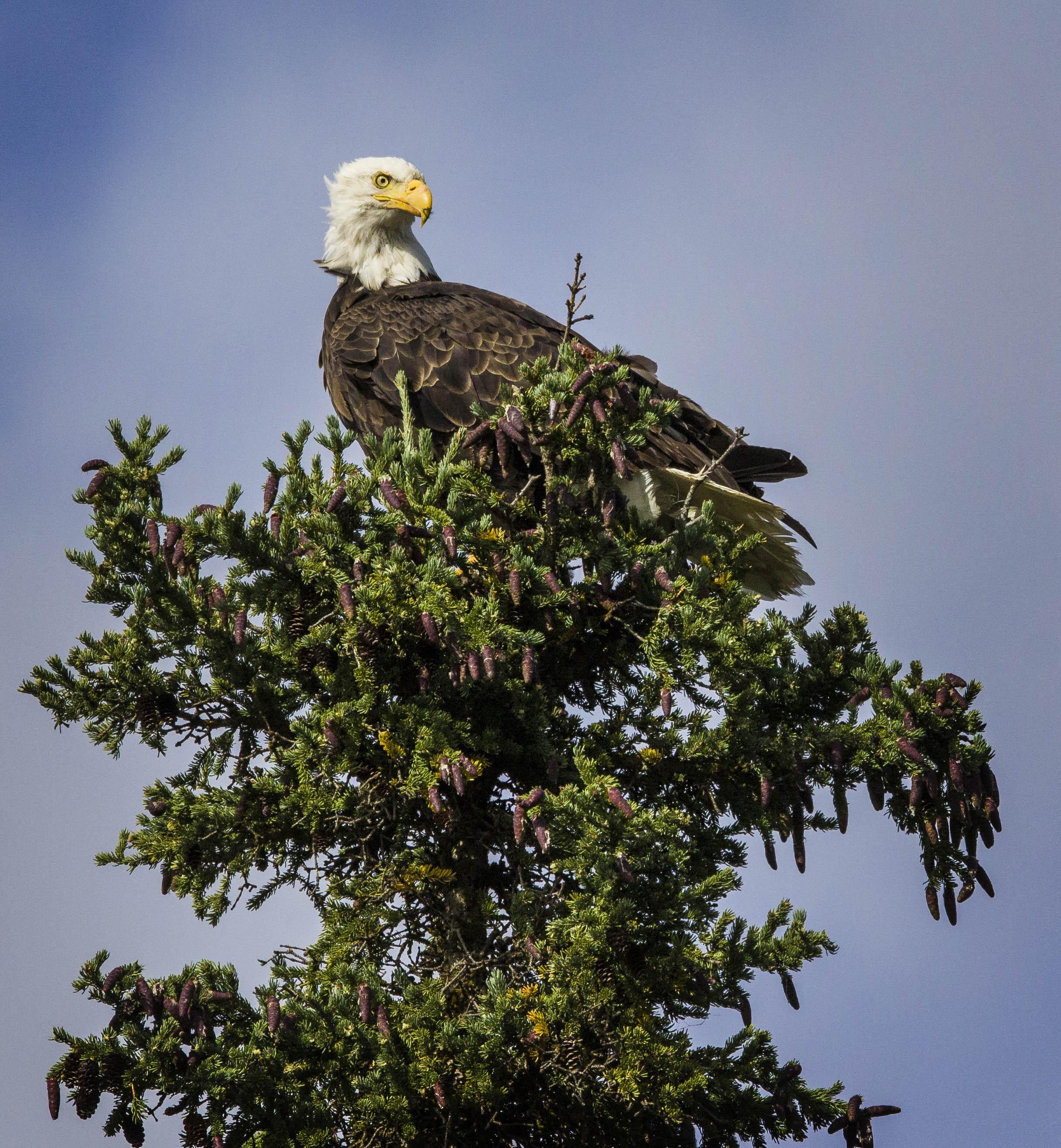 Dempster Highway, Roadtrip, Landscape, Arctic, rob gubiani, Tundra, Tombstone, Tuktoyuktuk, Inuvik, Dempster, Yukon, travel, wanderlust, bald eagle, eagle, raptor,