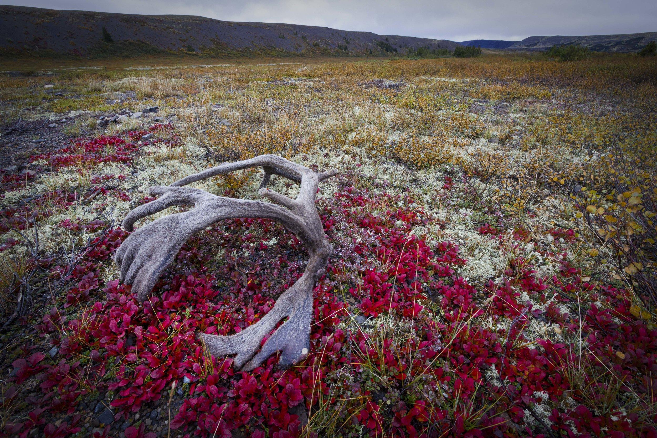 Dempster Highway, Roadtrip, Landscape, Arctic, rob gubiani, Tundra, Tombstone, Tuktoyuktuk, Inuvik, Dempster, Yukon, travel, wanderlust, caribou, antler, cast, velvet,