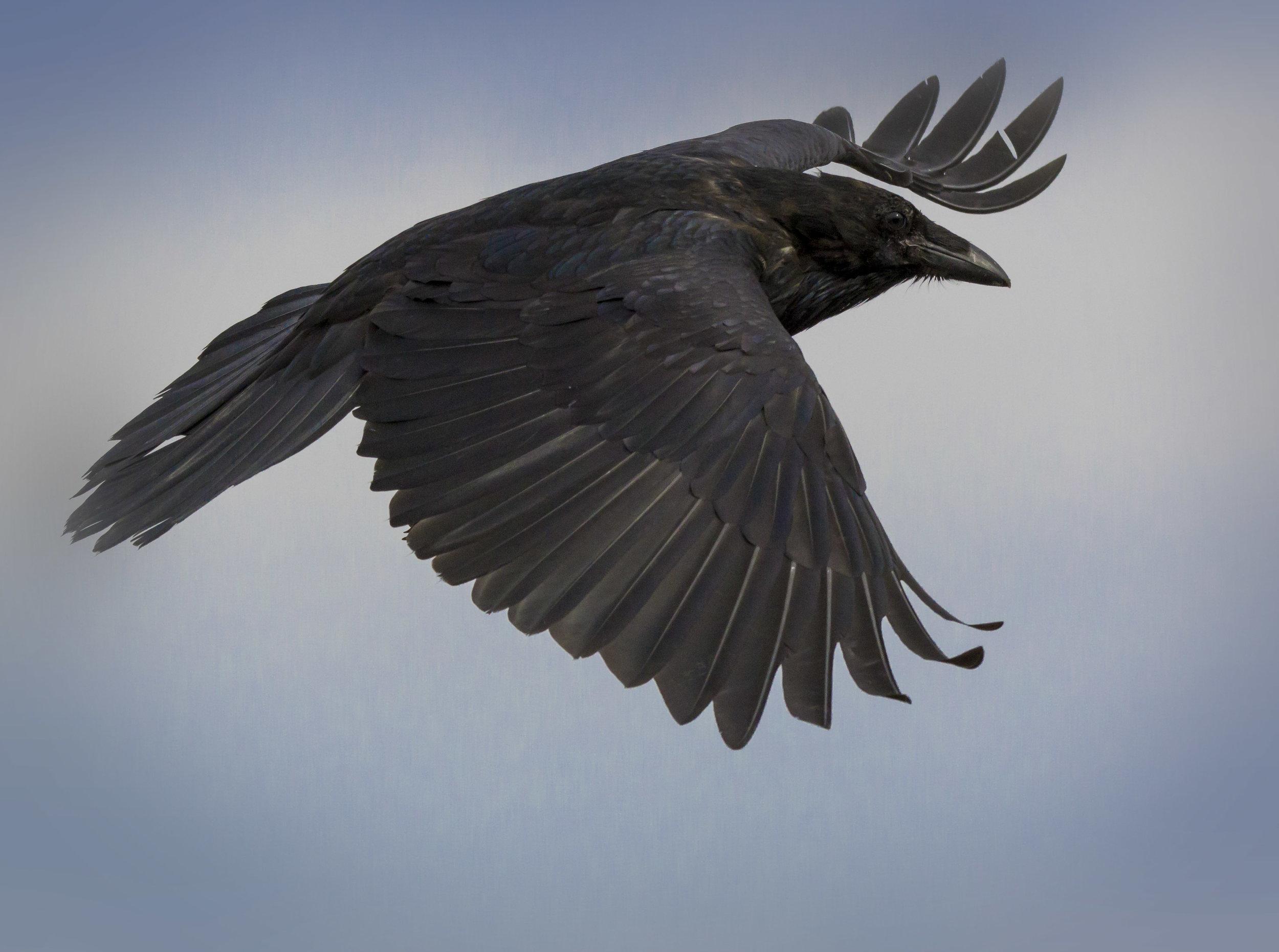 Dempster Highway, Roadtrip, Landscape, Arctic, rob gubiani, Tundra, Tombstone, Tuktoyuktuk, Inuvik, Dempster, Yukon, travel, wanderlust, raven, fly, flight,