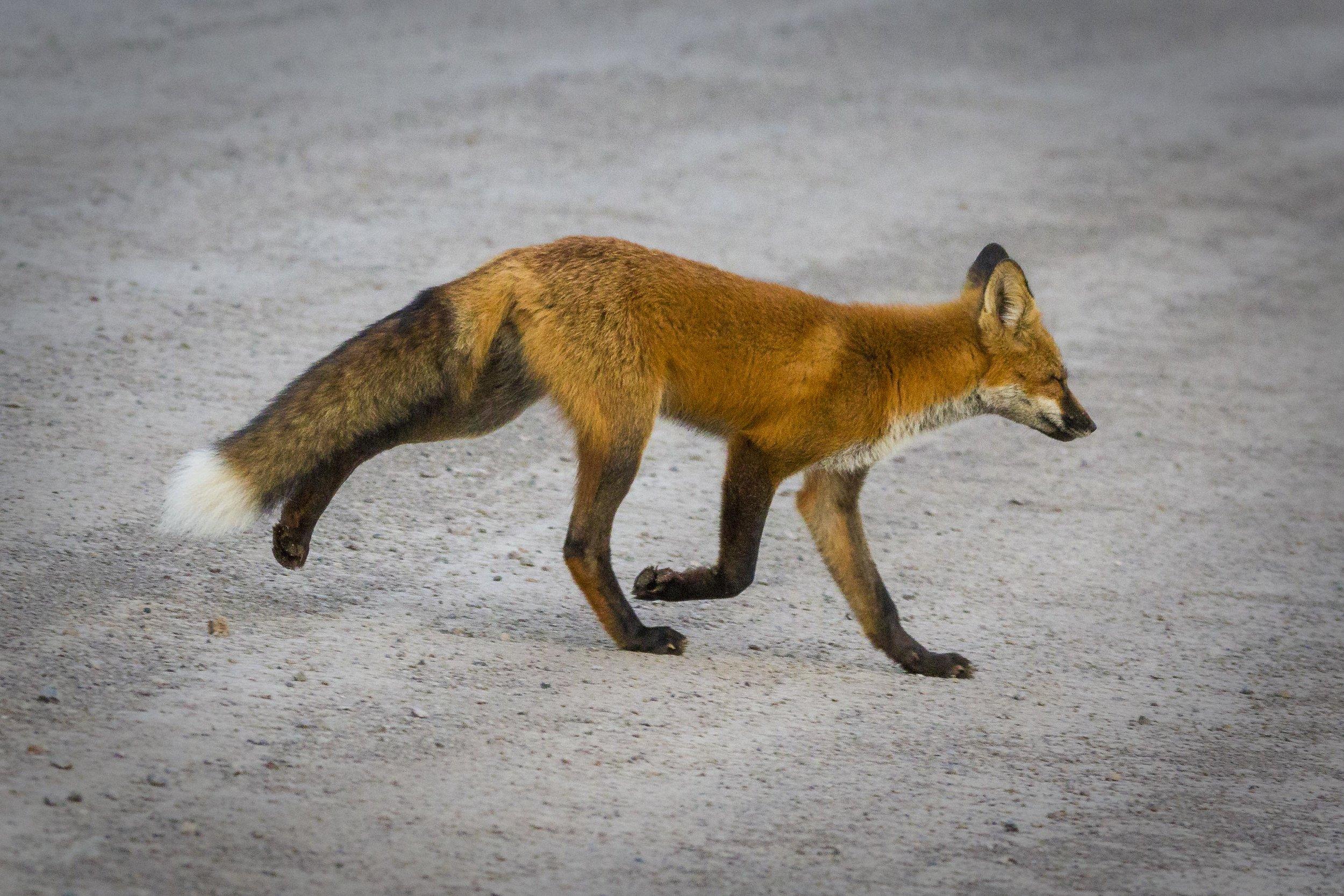 Dempster Highway, Roadtrip, Landscape, Arctic, rob gubiani, Tundra, Tombstone, Tuktoyuktuk, Inuvik, Dempster, Yukon, travel, wanderlust, fox, red fox, arctic fox,