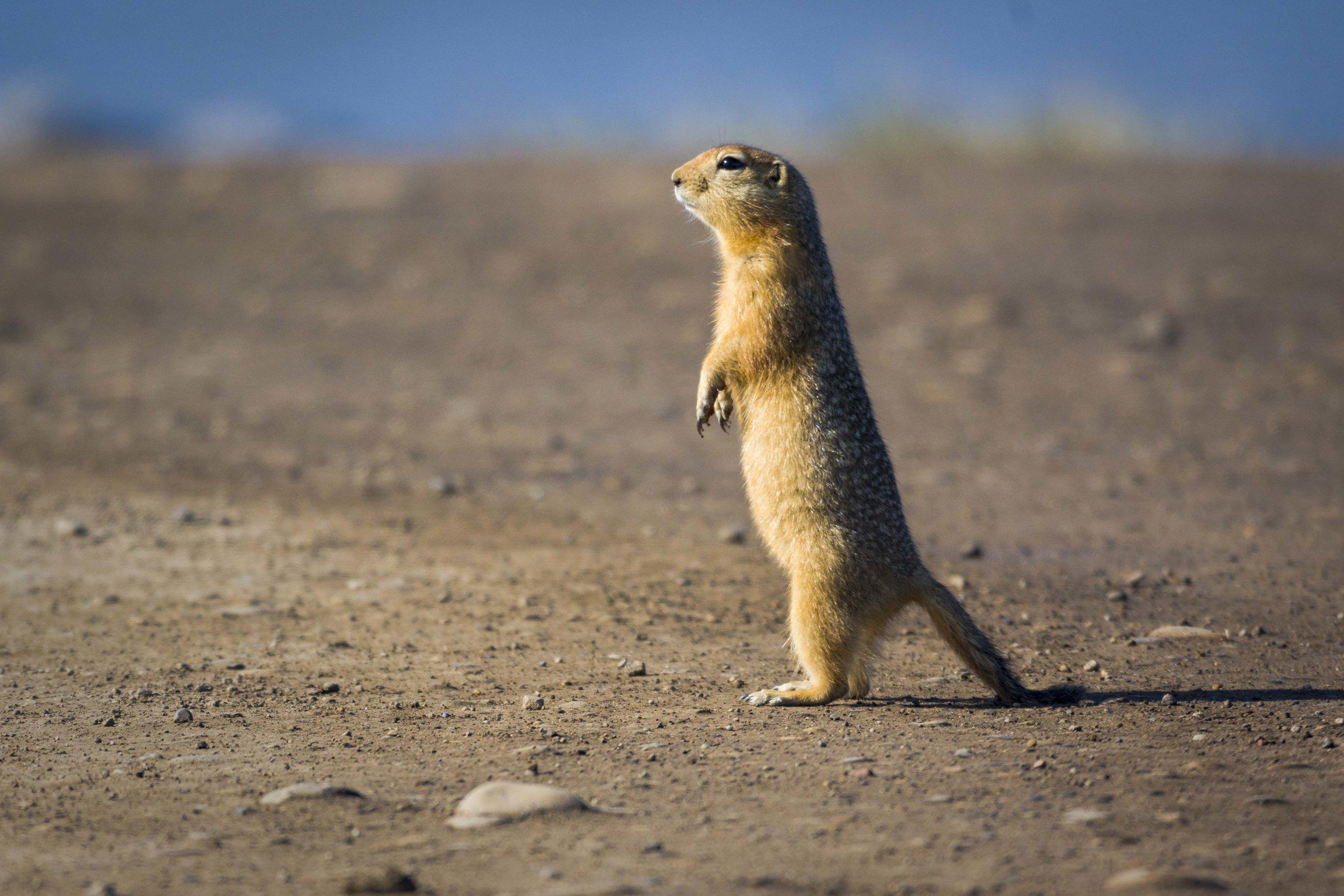 Dempster Highway, Roadtrip, Landscape, Arctic, rob gubiani, Tundra, Tombstone, Tuktoyuktuk, Inuvik, Dempster, Yukon, travel, wanderlust, gopher, ground hog, woodchuck, rodent,