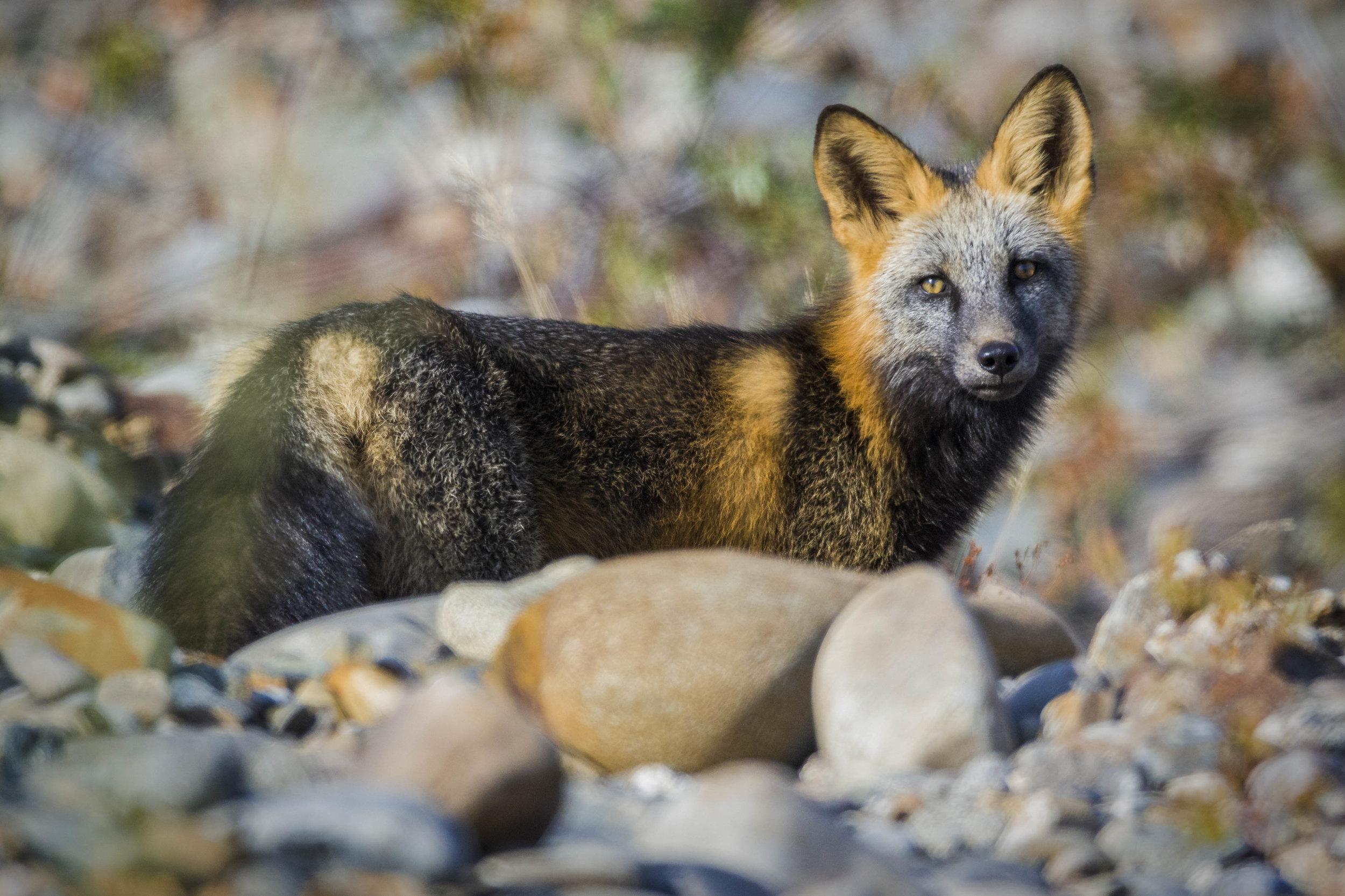 Dempster Highway, Roadtrip, Landscape, Arctic, rob gubiani, Tundra, Tombstone, Tuktoyuktuk, Inuvik, Dempster, Yukon, travel, wanderlust, fox, red fox, arctic fox, mottled fox,