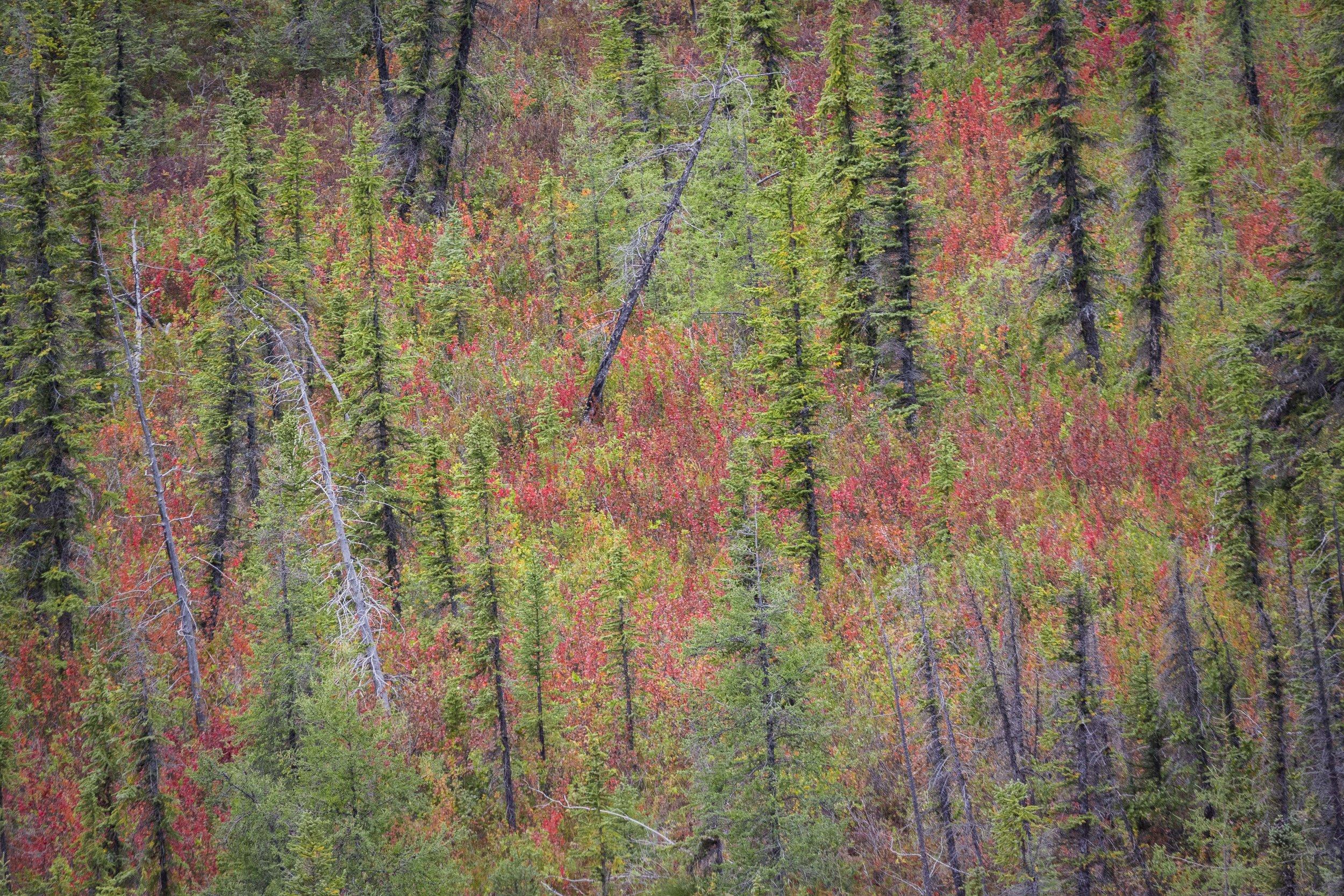 Dempster Highway, Roadtrip, Landscape, Arctic, rob gubiani, Tundra, Tombstone, Tuktoyuktuk, Inuvik, Dempster, Yukon, travel, wanderlust, boreal, forest, boreal forest, autumn, fall,
