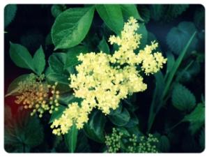 Spring Elderflower buds...