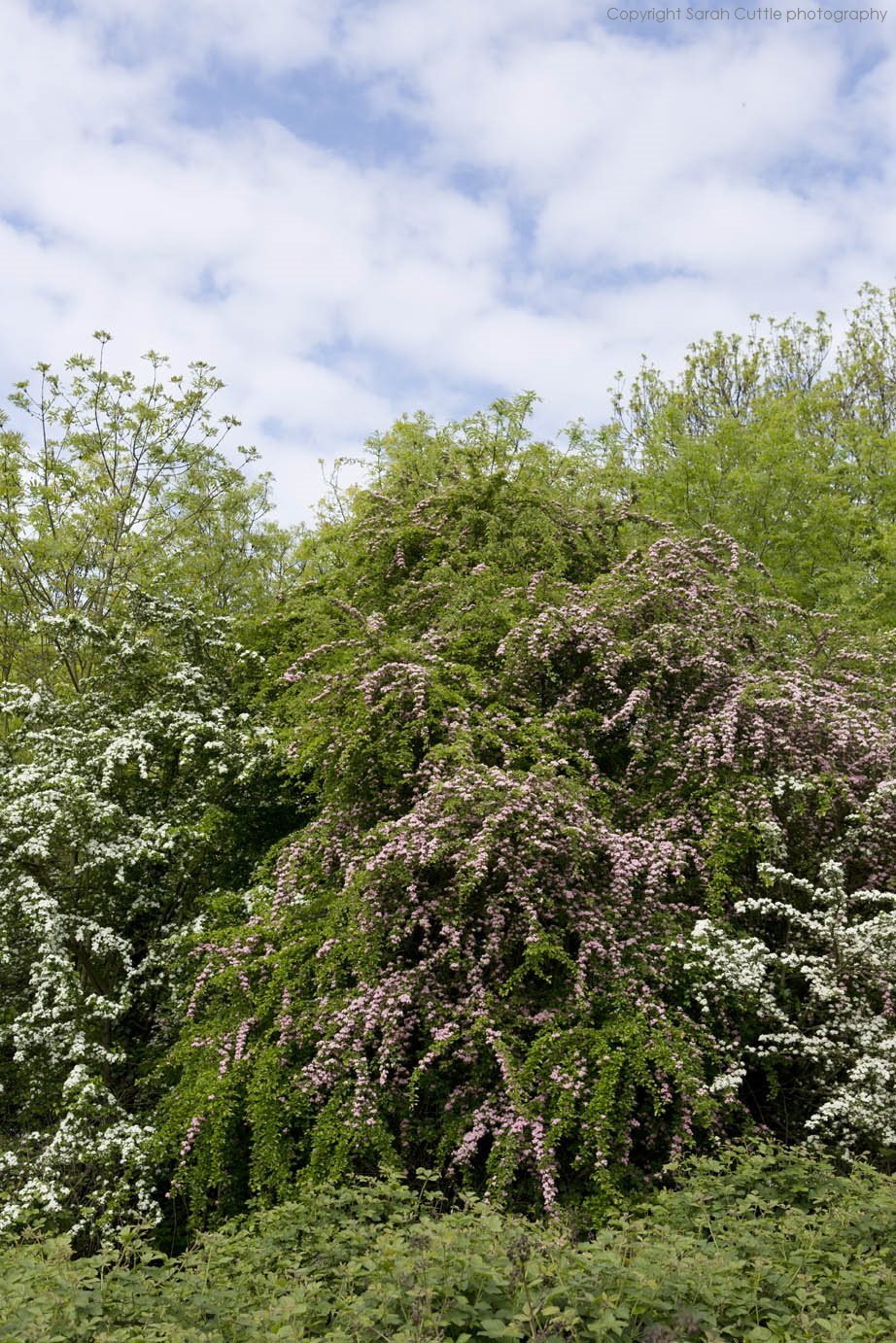 The hawthorn form shows waterfall-like arms of foliage.