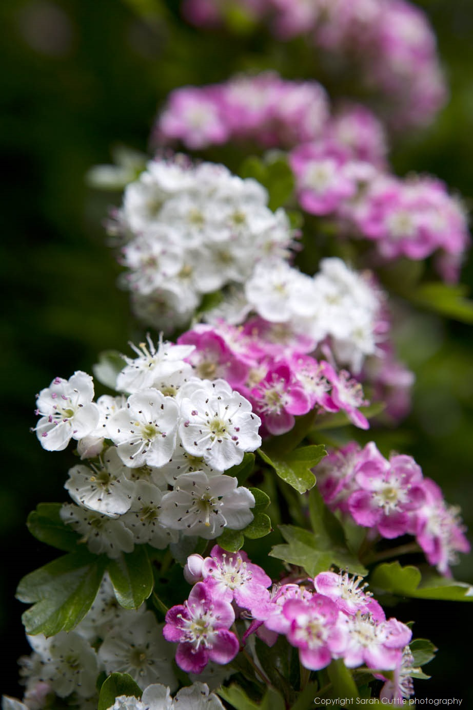 Common hawthorn flowers of a cultivated pink shrub and a wild white shrub growing entwined.