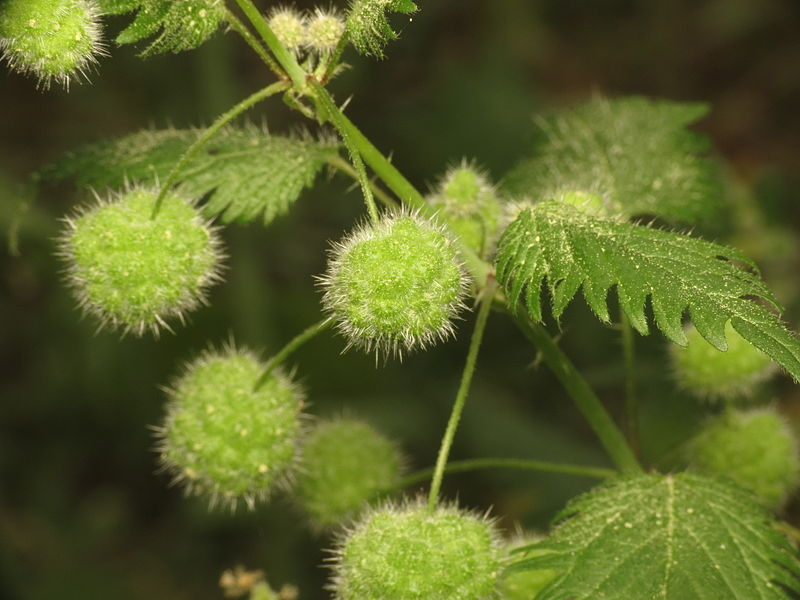 Roman Nettle ( Urtica pilulifera)  ball-like flower clusters.