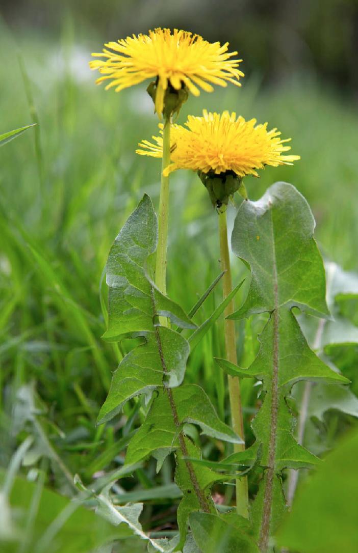 Dandelion  (Taraxacum officinale)  (c) Sarah Cuttle