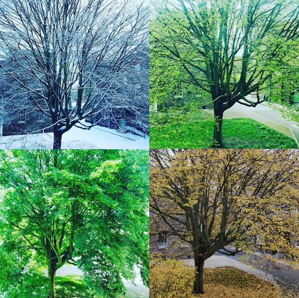 Point 2 in the following list: Tree of the year study on a Beech tree,( Fagus sylvatica  'Quercifolia') with permission from  Joanna Durant