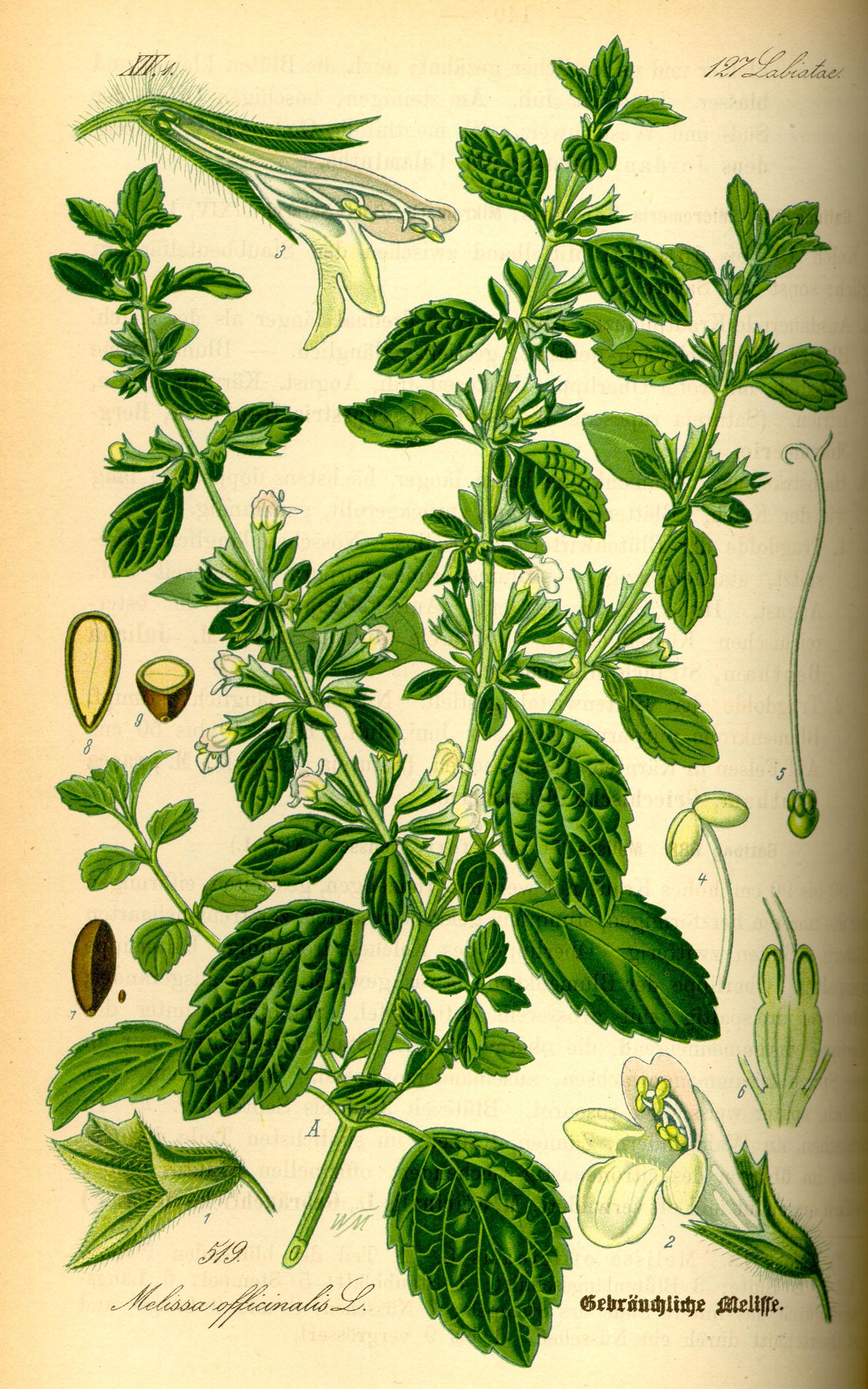Melissa officinalis, from  Flora von Deutschland Österreich und der Schweiz , Gera 1885. Wikimedia commons.