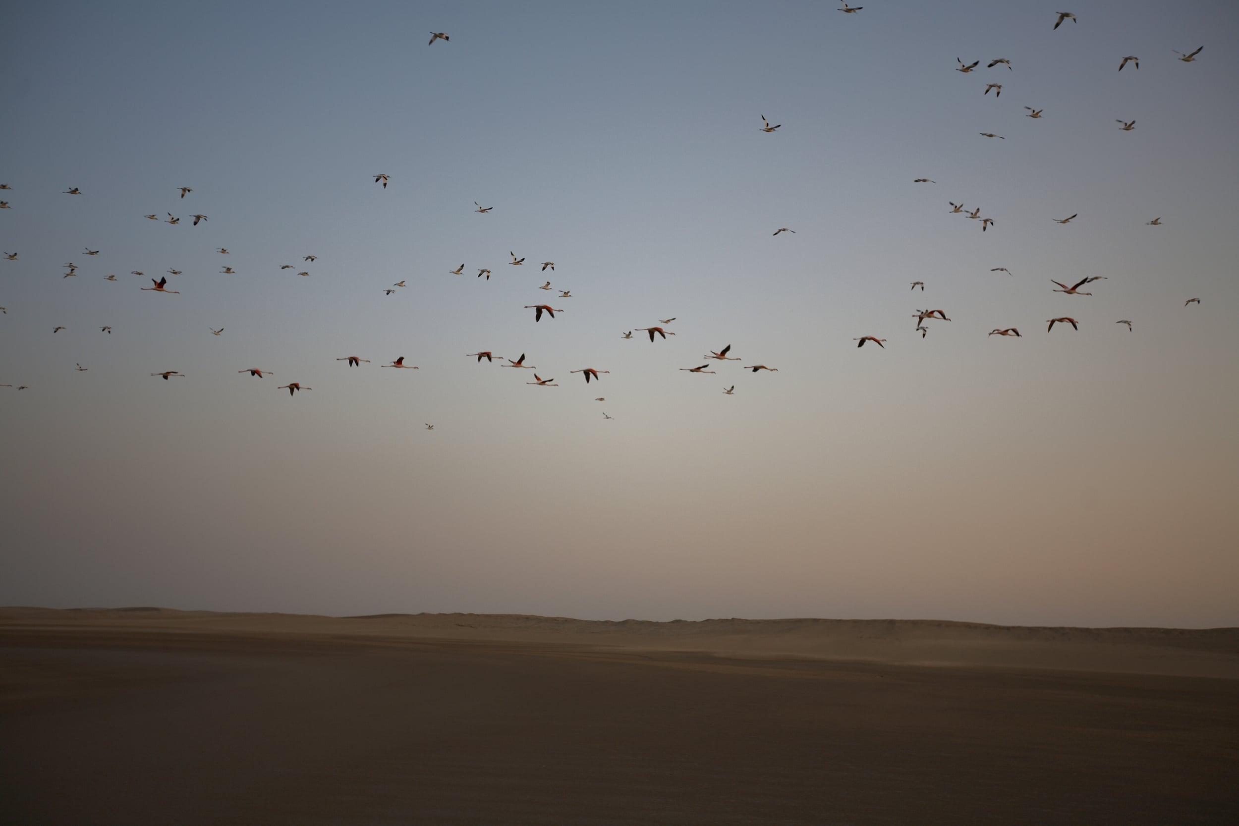 Flamingoes in Namibia.jpg