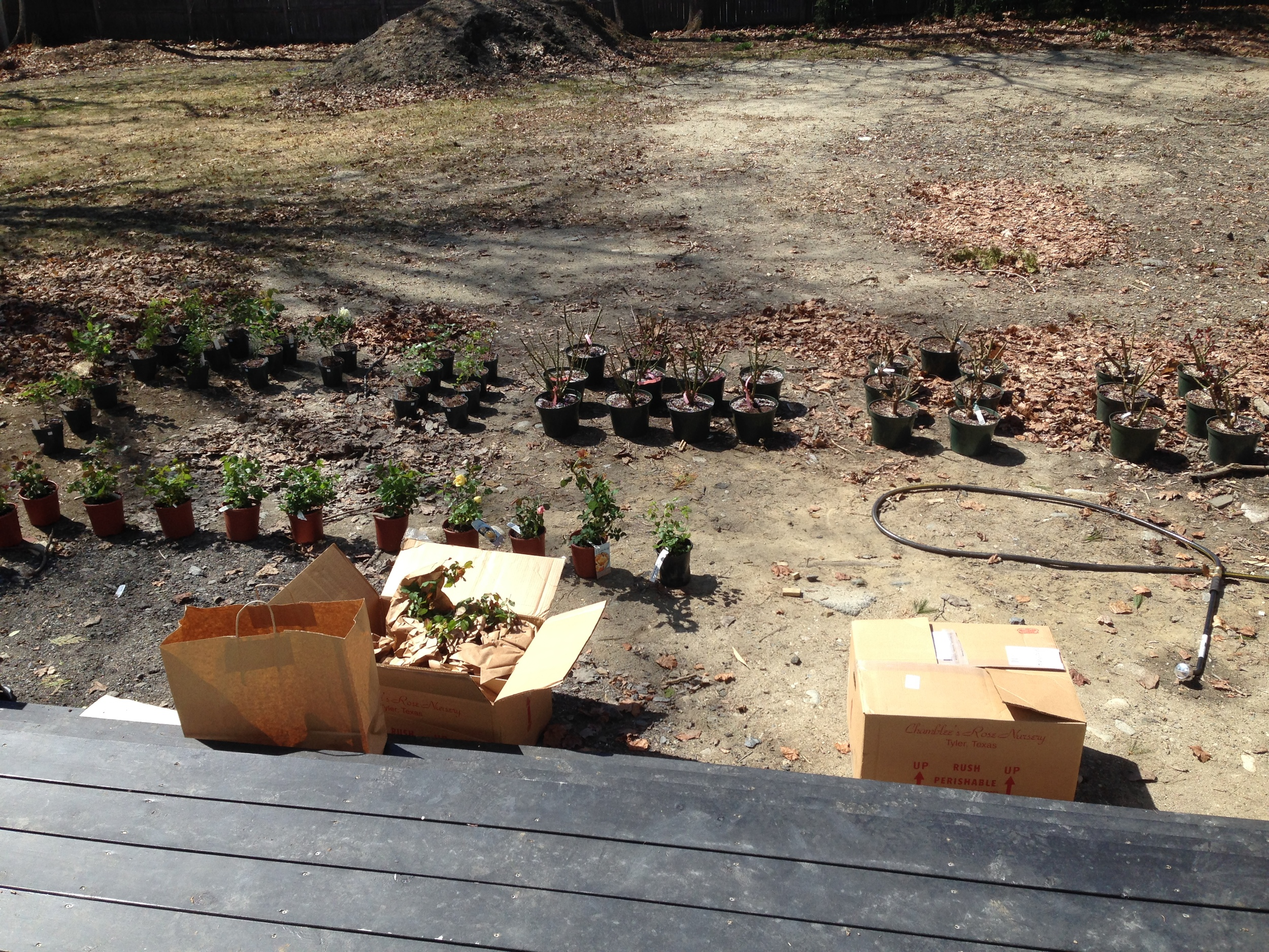 Spent this sunny day potting up roses for the new garden!  This is NOT their final destination in the garden... just a staging area off the back deck so I can easily keep them watered until they get into the ground.