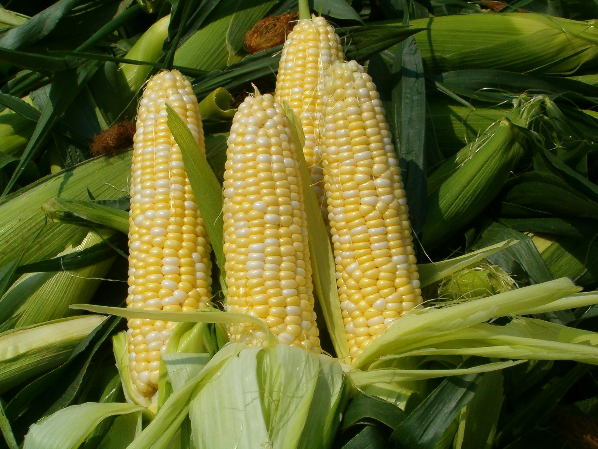 Fresh Corn from the Farmers' Market