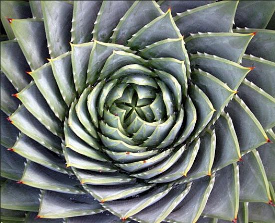Desert Aloe New York Botanical Garden