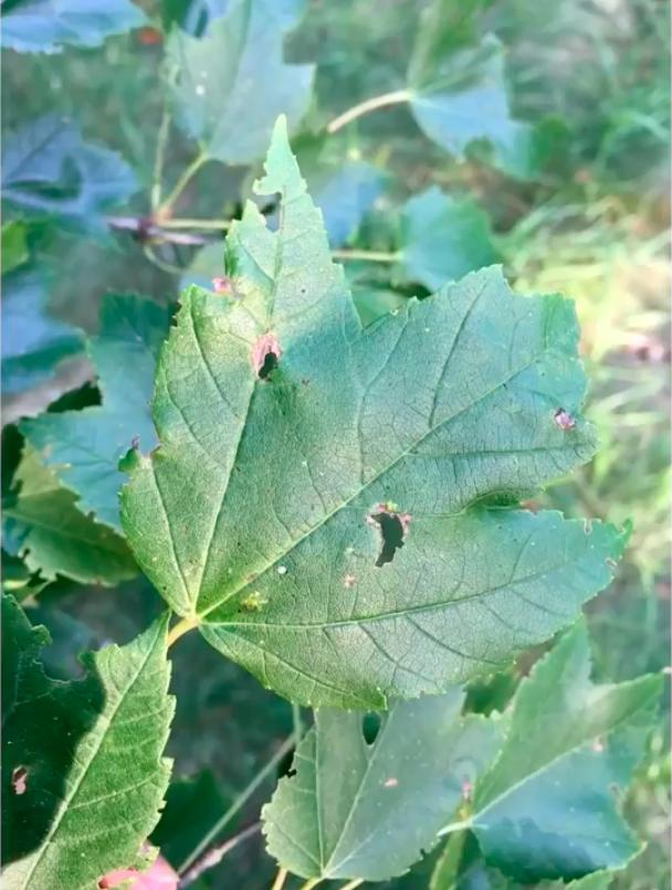 catapillars feeding on leaves.png