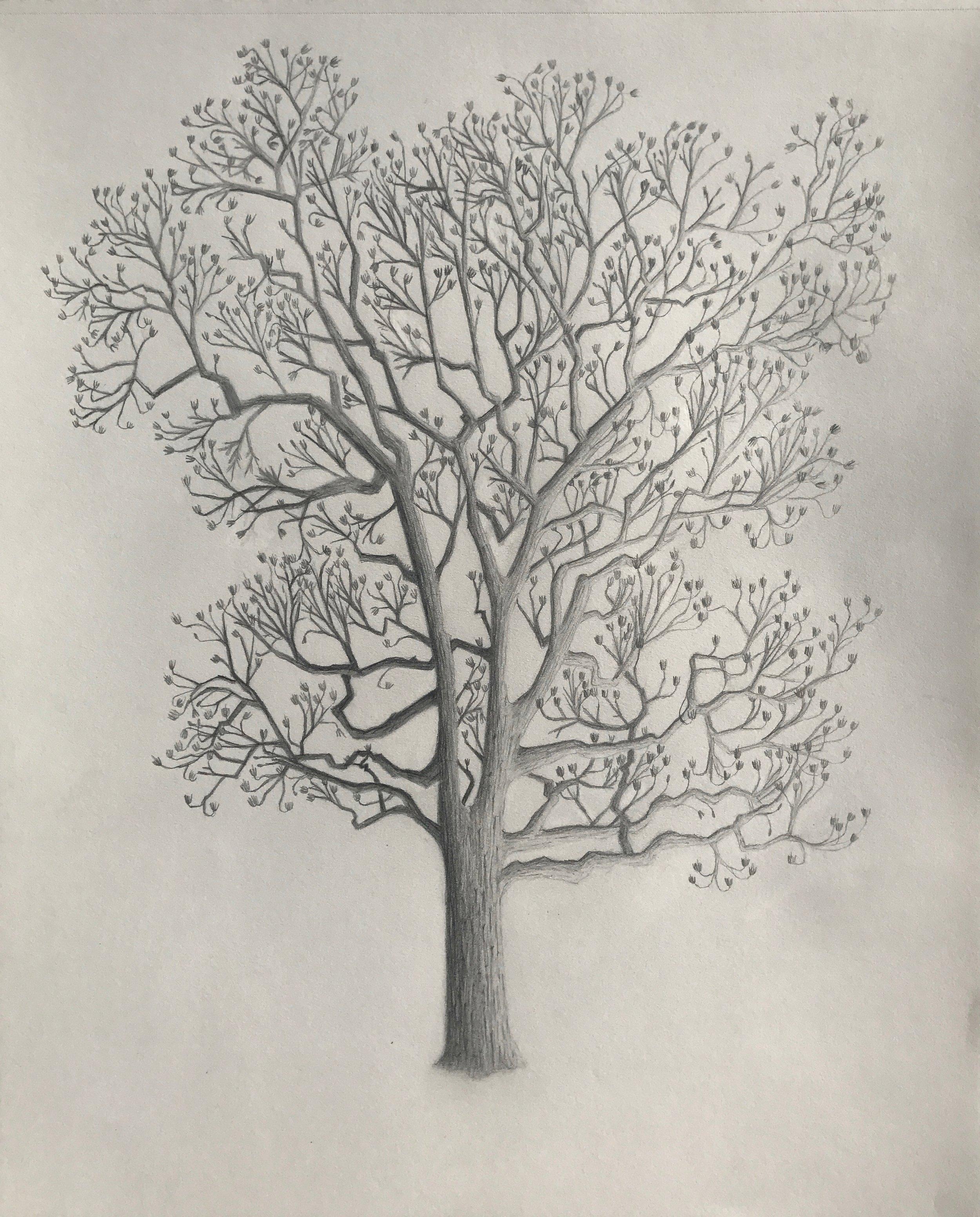 Winter Tulip Tree illustration by  Jessica Maffia