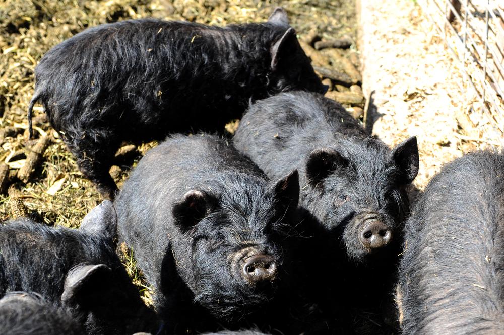black pigs.jpg