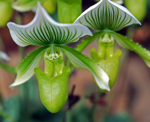 Paphiopedilum (Above) also known as the Lady Slipper Orchid is a variety than any collector would prize. They generally only have one or two flowers but the stunning beauty of each bloom makes them well worth it. The flower lasts for ten weeks or more!