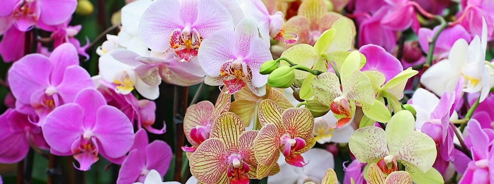 phal orchid.jpg
