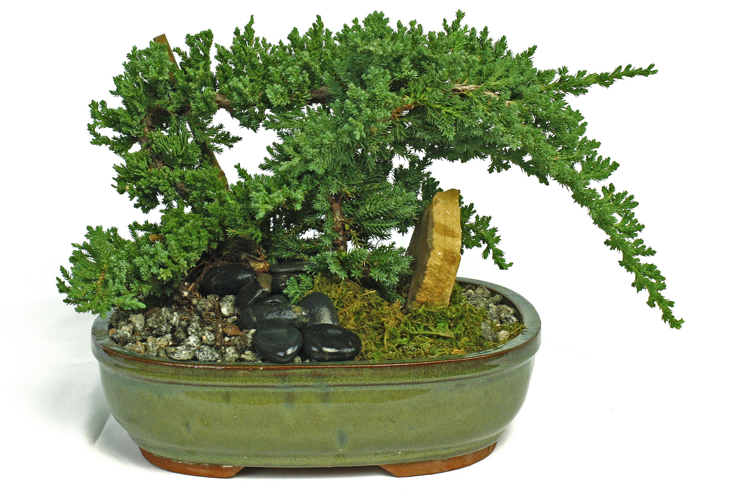 Juniper Bonsai Tree $50-$100 -