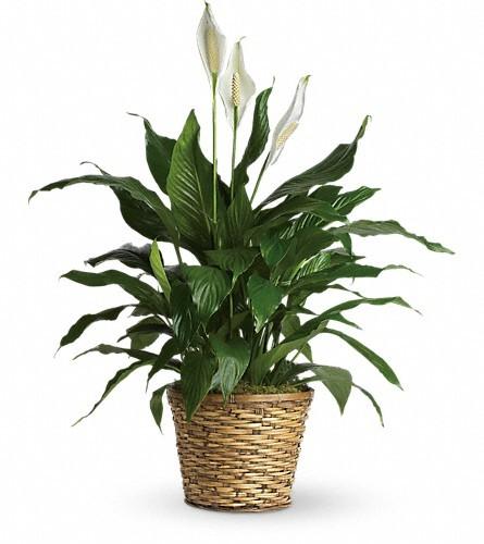 Simply Elegant Spathiphyllum - Medium $65 -