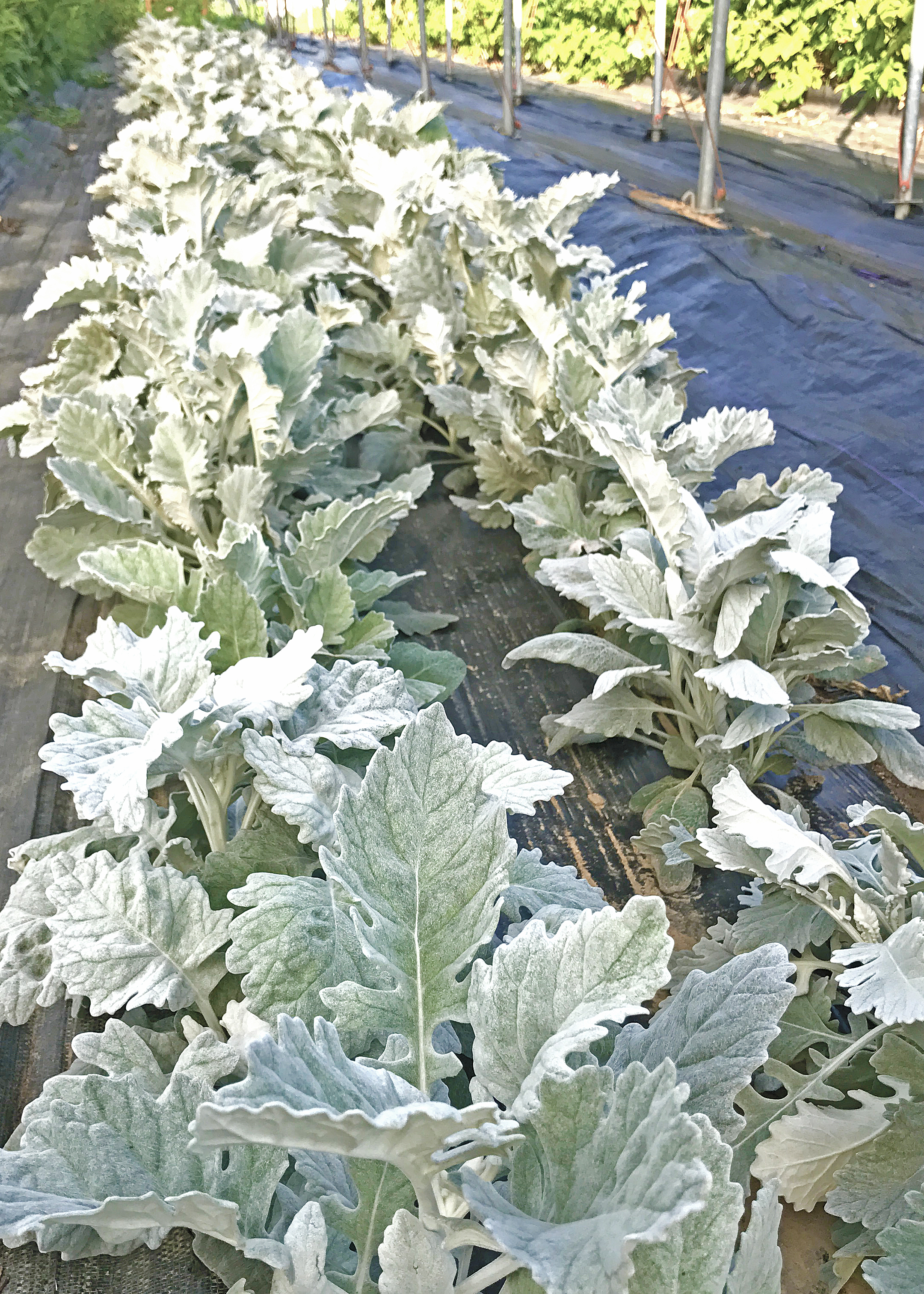 Rows of dusty miller