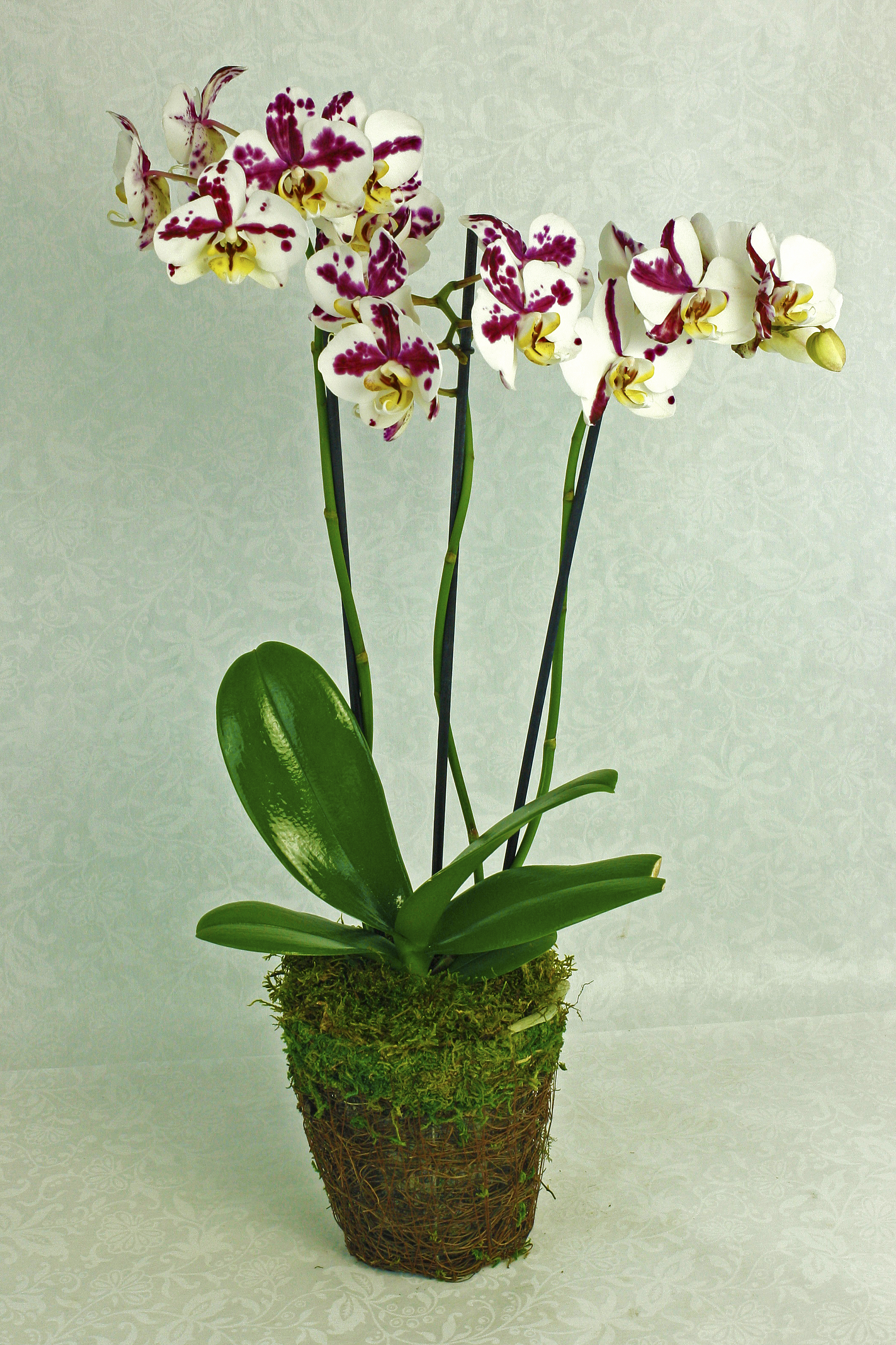 Orchid Plant In Grape Vine Basket $75-$200 -