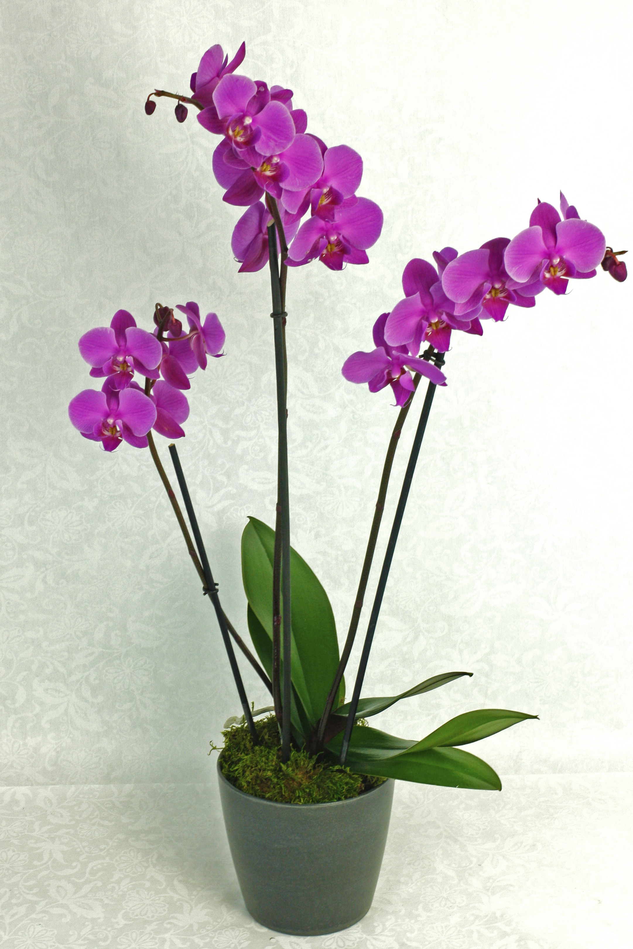 Orchid Plant In Black Pot $75-$200 -