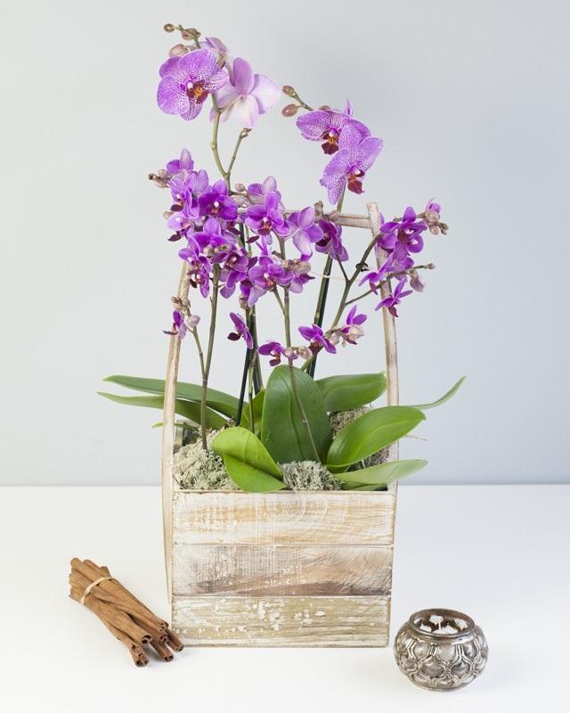 Feng Shui Phaleonopsis $85-$195 -