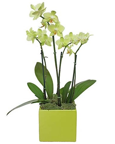 Chartreuse Orchid $85 -