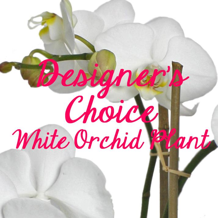 Designer's Choice White Orchid Plant $65-$140 -