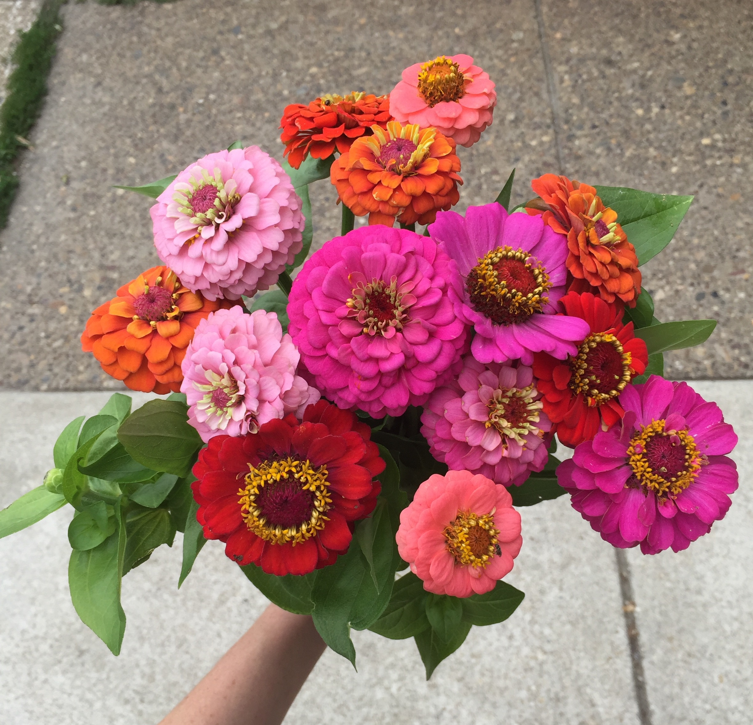 Zinnias grown in our own flower farm