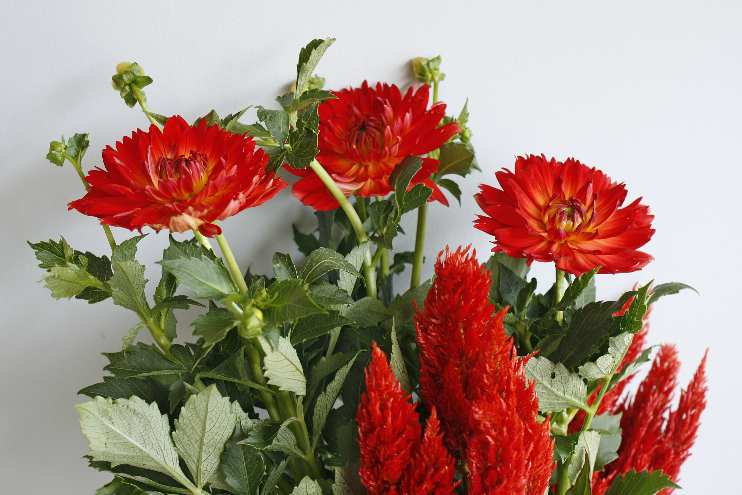 Local Dahlia and celosia