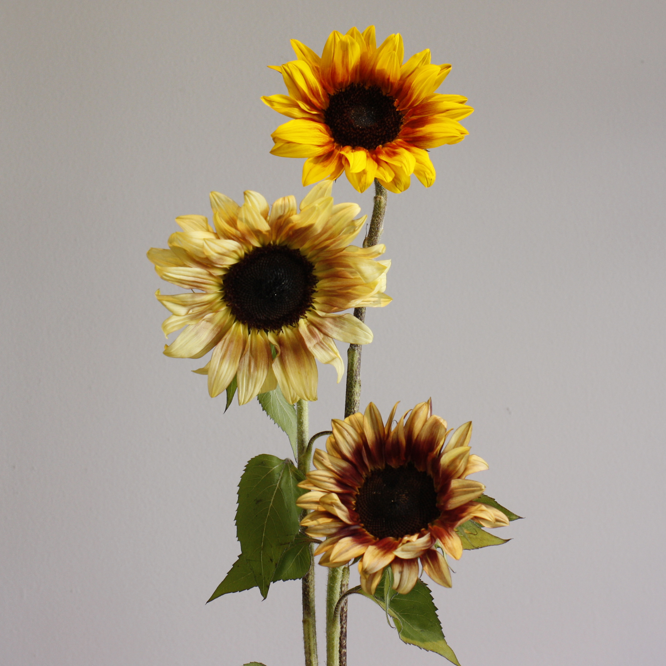 Local Sunflowers!