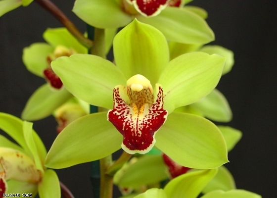 Green Cymbidium Orchid - Call to see on availability 610-664-7352