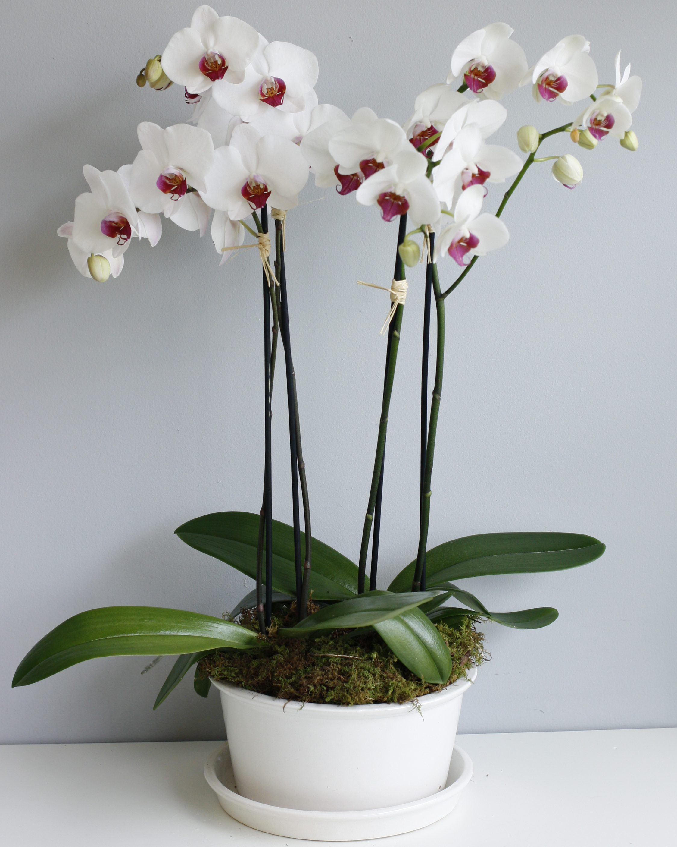 Harmony Orchid Plants - phaleonopsis orchids in modern white ceramic pot, perfect for a modern home or office space!